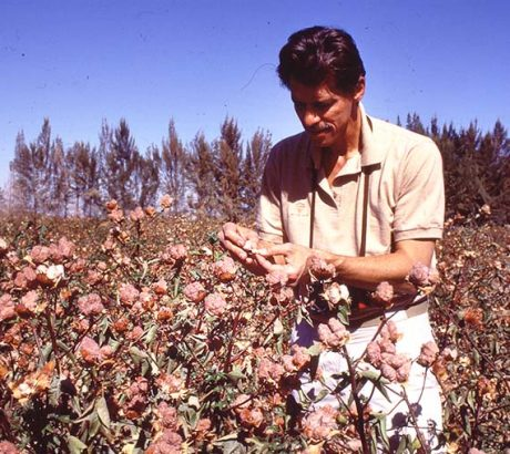 Dr. James studying the Native Colored Cotton bolls in the field